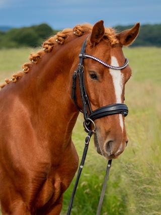 Portrait von Mustang Little Wildfire